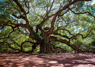 eclipes 2017 charelston south charolina angel oak tree prints for sale -1